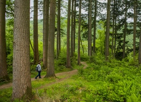 Person dwarfed by tall conifer trees