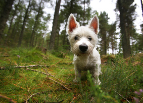 A young west highland terrier looking towards camera