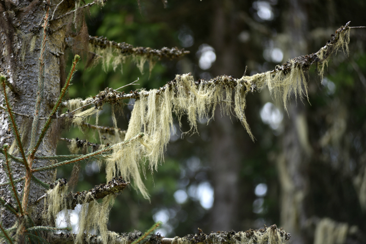 Wispy lichen hanging from a tree limb like long grass