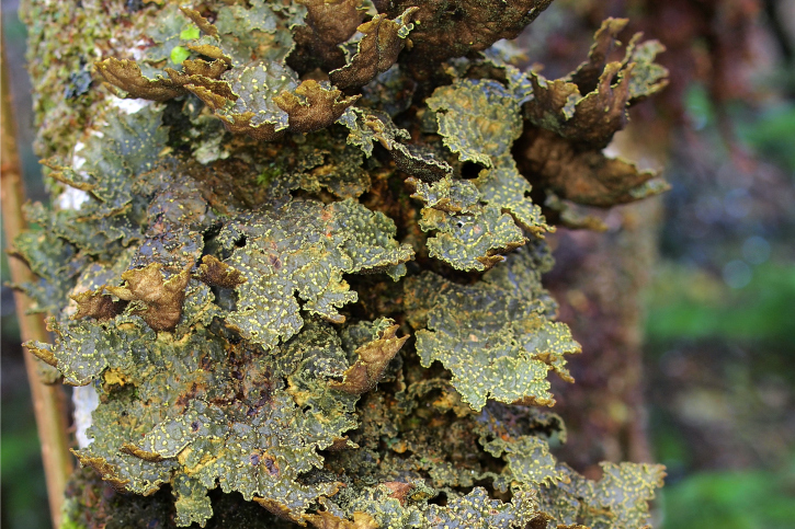 Green leave-like lichen clustering round a tree trunk