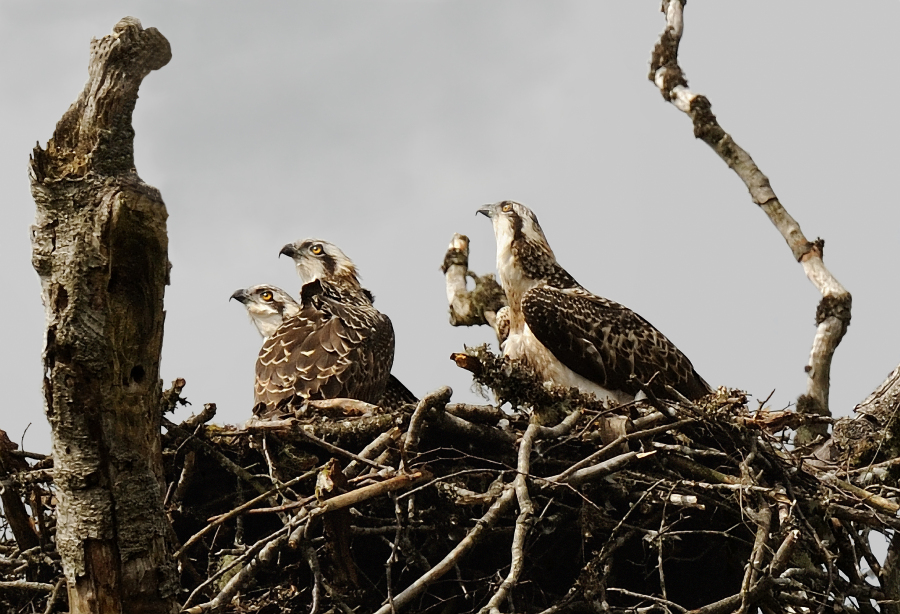 ospreys in nest