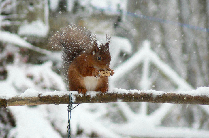 red squirrel on a branch in snow