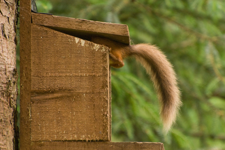 red squirrel's tail coming out a feeder box in tree