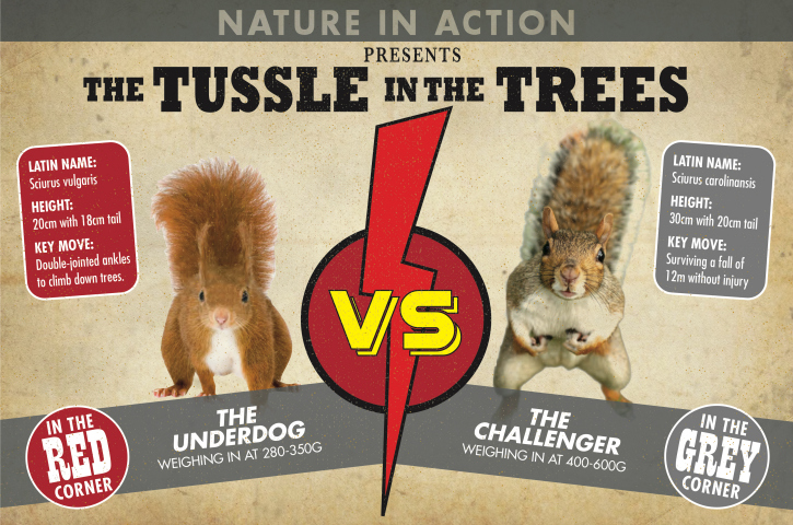 red and grey squirrels info in boxing style image