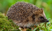 hedgehog sitting on moss and grass