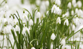 snowdrops on snowy grass