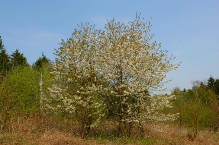 Wild Cherry Forestry And Land Scotland