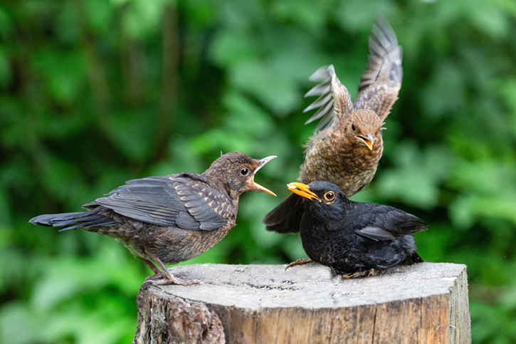Three small black and brown birds on a tree stump