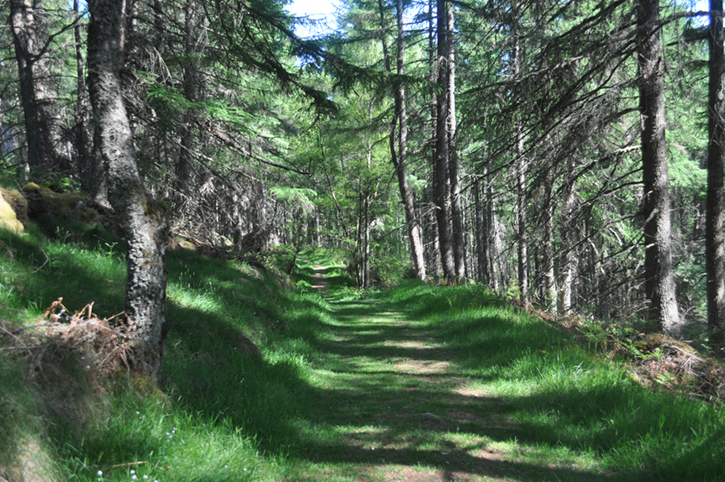 Grassy track running between tall coniferous trees