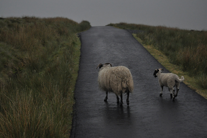Two sheep standing on a wet singletrack road bordered with grasses and scrub land